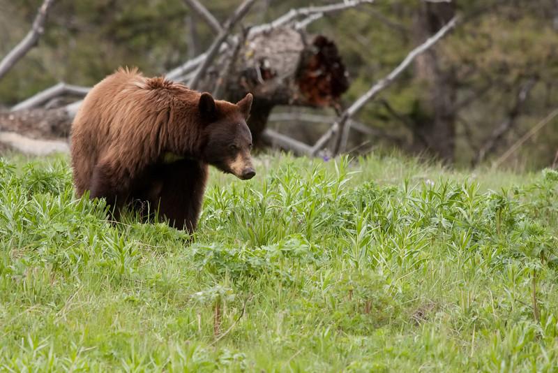 Cinammon black bear near Blacktail Plateau picnic area 4