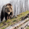 Young grizzly bear along Sedge Bay 1