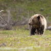 Young grizzly bear along Sedge Bay 13