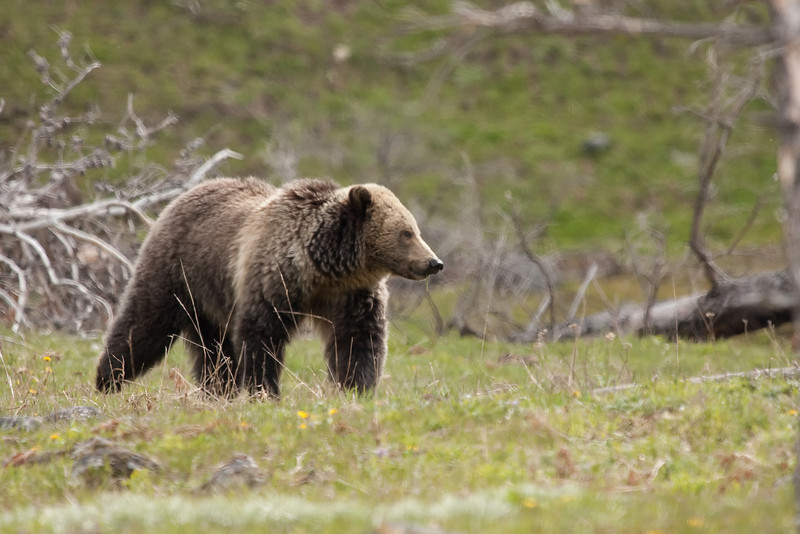 Young grizzly bear along Sedge Bay 12