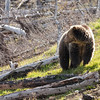 Young grizzly bear along Sedge Bay 8