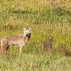 Coyote near Deer Creek 3