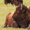 Bison at rest