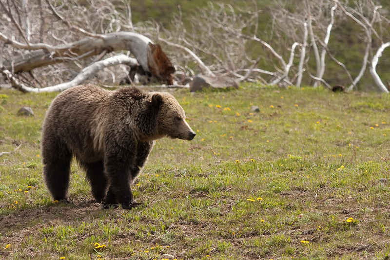Young grizzly bear along Sedge Bay 17