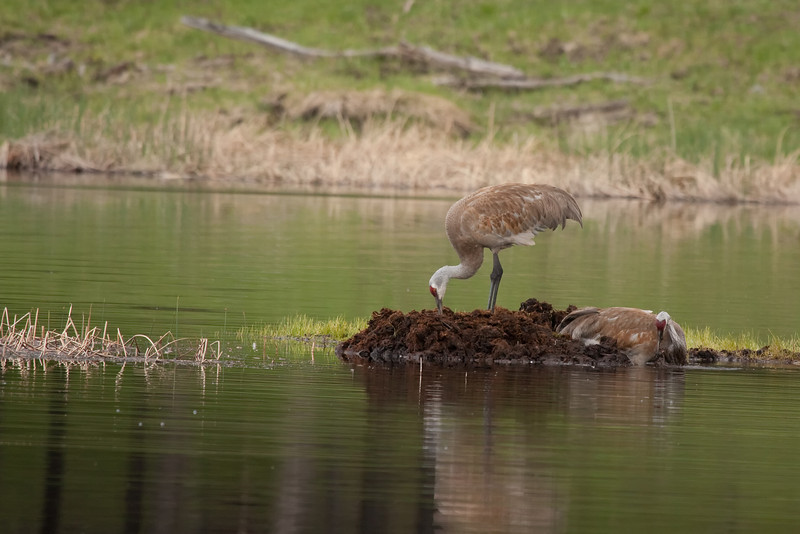 Sandhill cranes on Floating Island Lake 3