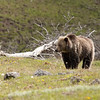 Young grizzly bear along Sedge Bay 5