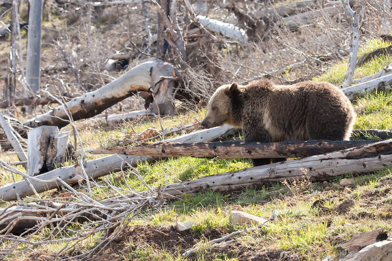 Young grizzly bear along Sedge Bay 7