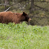 Cinammon black bear near Blacktail Plateau picnic area 3