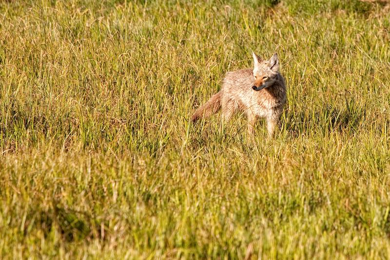 Coyote near Deer Creek 2