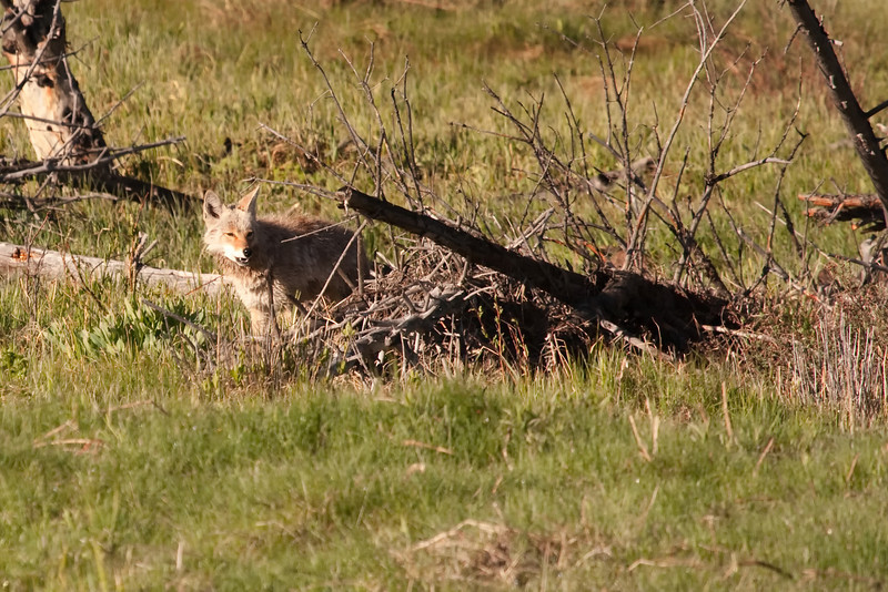 Coyote checking out his dinner