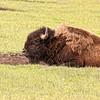 Lazy bison