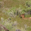 Newborn elk calf near Yellowstone River at Gardiner 2