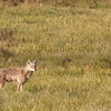 Coyote near Deer Creek 1