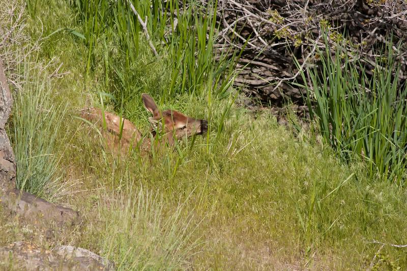 Newborn elk calf near Yellowstone River at Gardiner 1