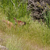 Newborn elk calf near Yellowstone River at Gardiner 1