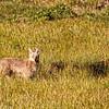 Coyote near Deer Creek 4