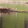 Sandhill cranes on Floating Island Lake 4