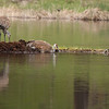 Sandhill cranes on Floating Island Lake 2