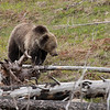 Young grizzly bear along Sedge Bay 10
