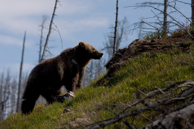 Young grizzly bear along Sedge Bay 4