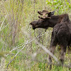 Bull moose 2 along Shoshone River outside of Cody, Wyoming