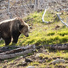 Young grizzly bear along Sedge Bay 9