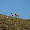 Two elk near Gardiner
