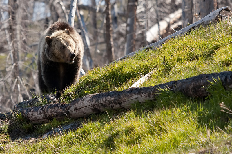 Young grizzly bear along Sedge Bay 6