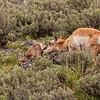 Newborn pronghorn calf with mom 1