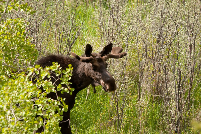 Bull moose 1 along Shoshone River outside of Cody, Wyoming