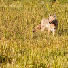 Coyote near Deer Creek 2