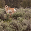 Newborn pronghorn calf with mom 7