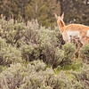 Newborn pronghorn calf with mom 9