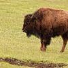 Lonely bison near Deer Creek