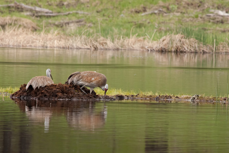 Sandhill cranes on Floating Island Lake 1