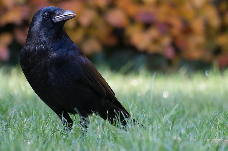 A Crow