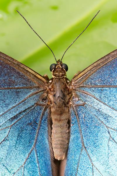 Menelaus Blue Morpho, Morpho Menelaus