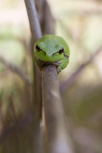 European Tree Frog, Hyla Arborea