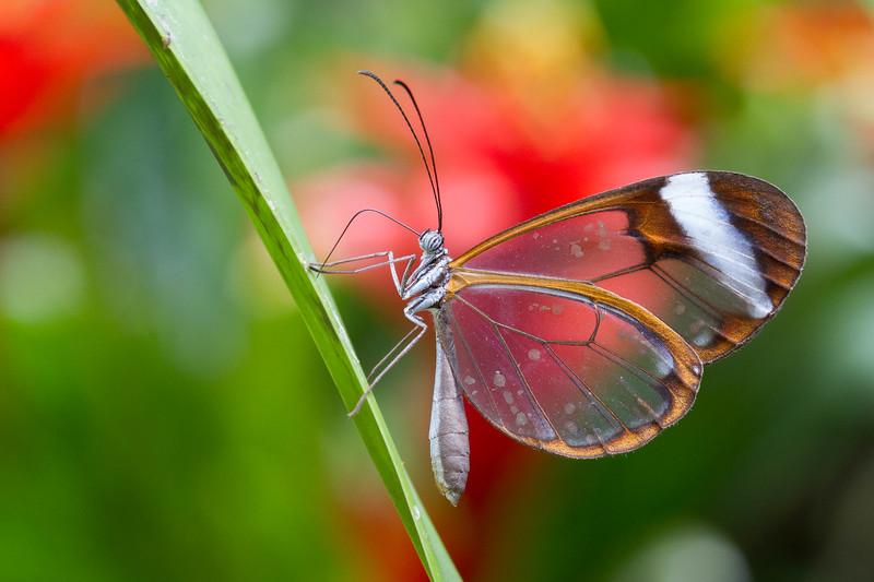 Glasswing Butterfly, Greta Oto