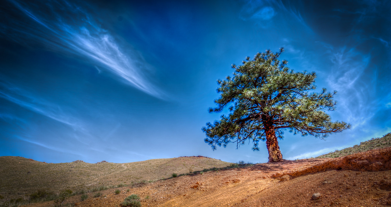 Pine tree on the edge of Reno, Nevada