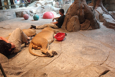 The lion habitat at MGM. Imagine if your job was to babysit the lions? September 2011.