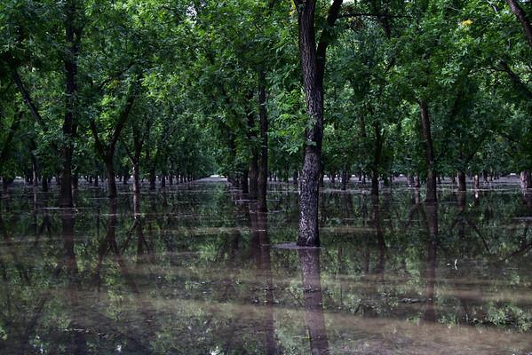 Flooded Pecan Grove; Mesilla, New Mexico