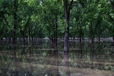Flooded Pecan Grove; Mesilla, New Mexico