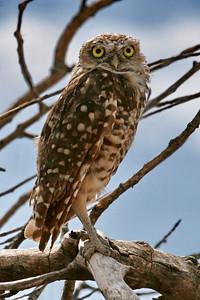 Burrowing Owl; Rio Bosque Wetlands; El Paso, TX