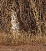 Bobcat - Bosque Del Apache