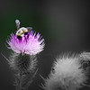 Bumblebee atop Spotted Knapweed
