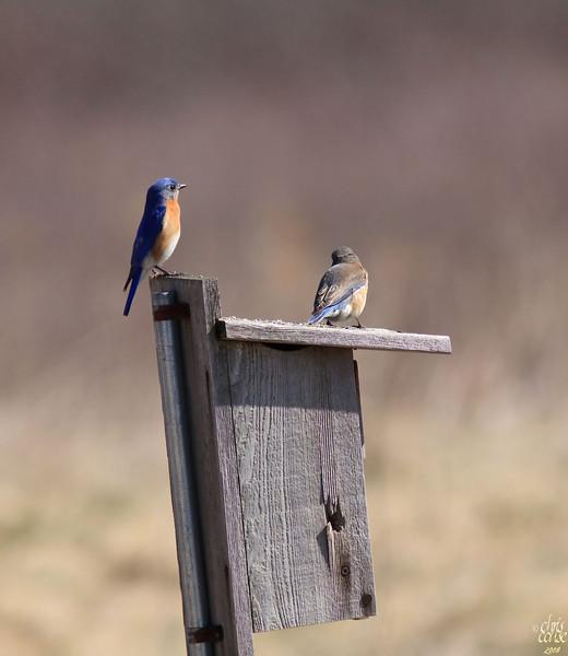 Eastern Bluebirds - Mr & Mrs