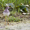 Greater Yellowlegs (not sure) - Montezuma Wildlife Refuge
