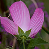 Swamp Rose Mallow - Montezuma National Wildlife Refuge
