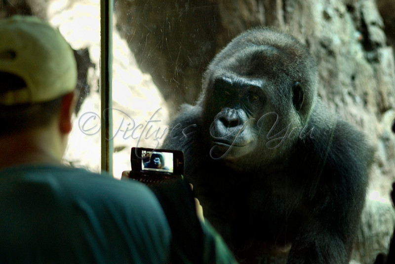 A visitor gets a great shot of a Congo Gorilla at the Bronx Zoo.